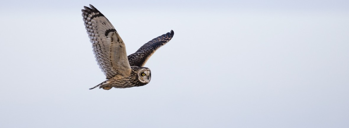 where to see short-eared owls, wildside, world wild web