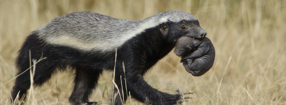 where to see honey badgers, wildside, world wild web