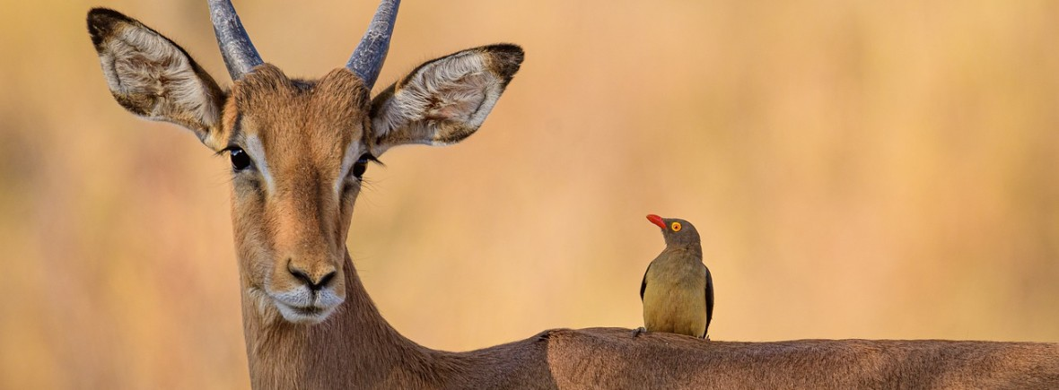 where to see impalas, wildside, world wild web