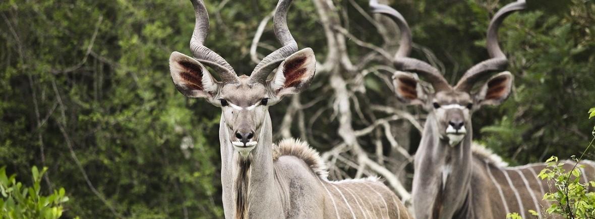 where to see kudus, wildside, world wild web
