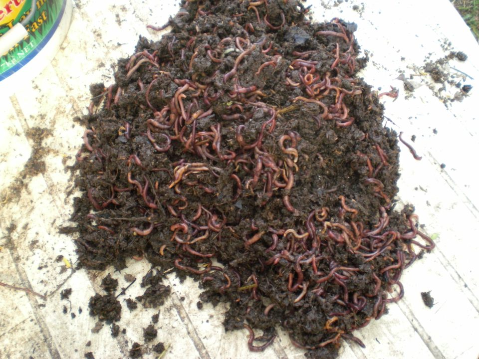 Composting Worms For Worm Farms
