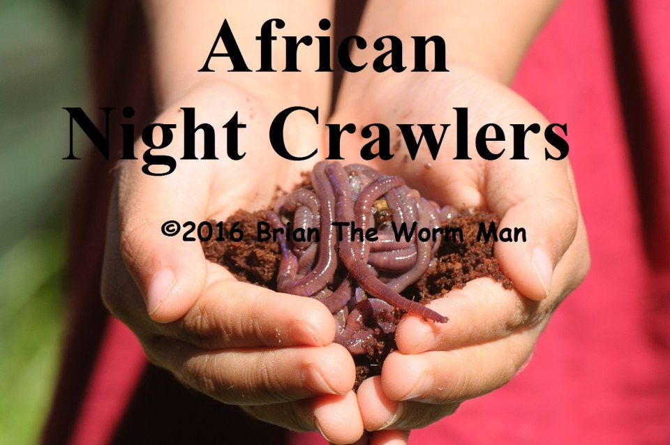 Bait Worms African Night Crawlers