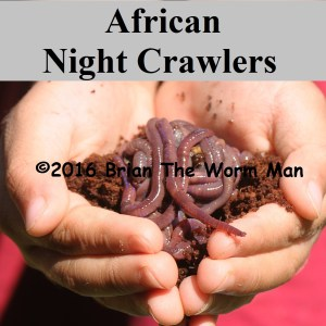 Bait Worms African Night Crawlers 3