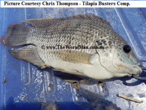 Tilapia Busters Comp - Courtesy Chris Thompson - Fish Caught Using My Bait Worms