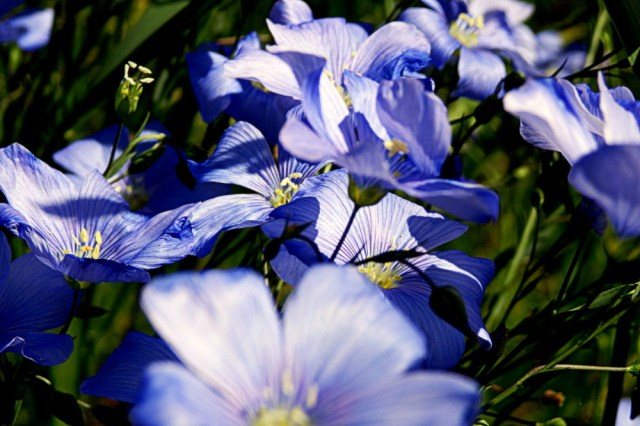 blue wild flax flowers, shadows and light