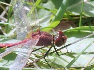 Dragonfly Closeup