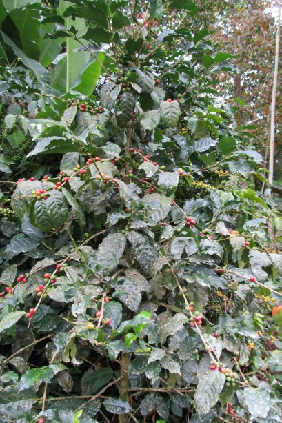 A coffee bush - the berries are great to chew on for a little caffeine boost!