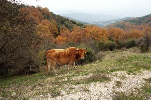 Cow in Meteora