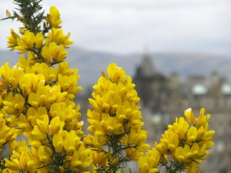 Yellow flowers in Scotland