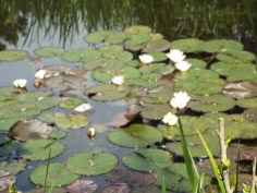 Monet's Water Lilies in Giverny