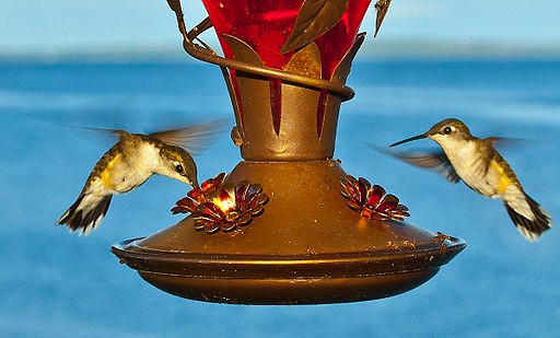 Hummingbirds at feeder © Centpacrr at English Wikipedia [CC-BY-SA-3.0 or GFDL], via Wikimedia Commons