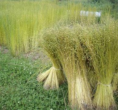 Stalks of raw flax harvested in the field