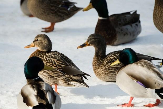 Woodland Park Ducks - 2