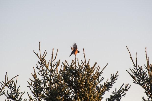 Winter Cardinals - 1