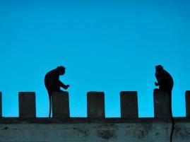 Vervet monkeys on the roof