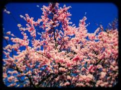cherry blossom in london's battersea park