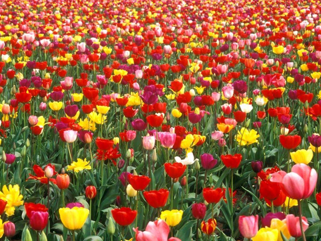 tulipes champ