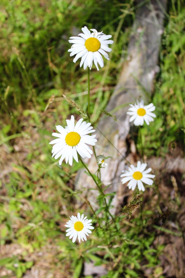 pretty daisies flower