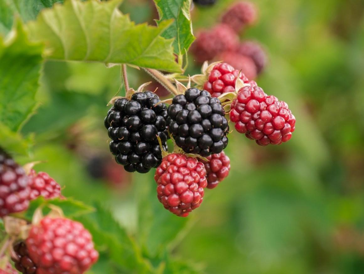 berry-3513546_1280
