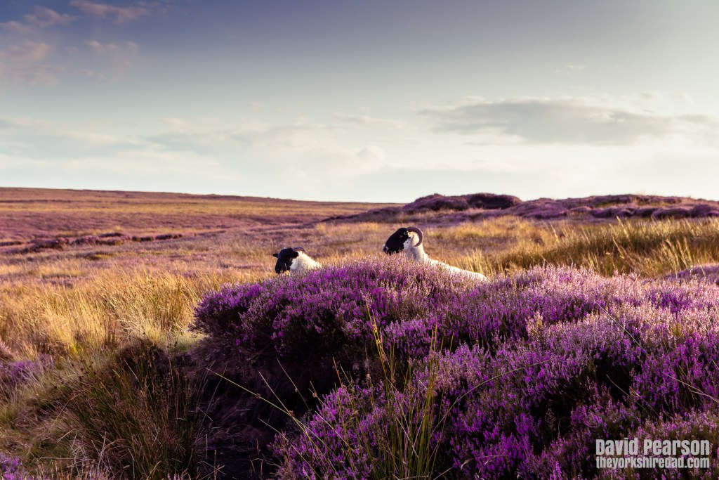 Sheep in the heather on the North York Moors | Evening Walk on the North York Moors | The Yorkshire Dad of 4
