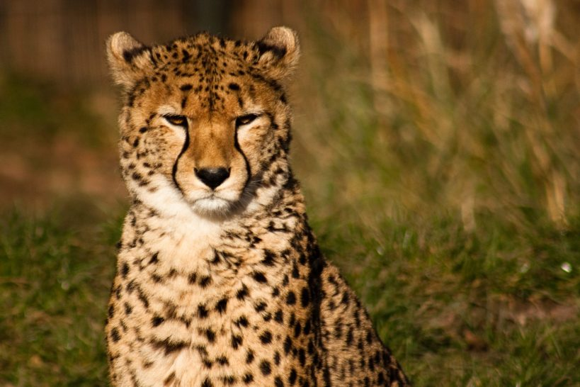 Good news for cheetahs | The Yorkshire Dad of 4