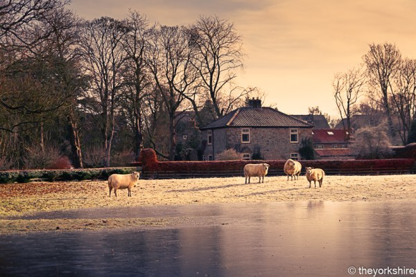 Sheep and Ice in Keldholme | The Yorkshire Dad of 4