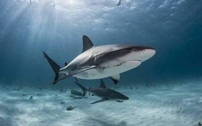 THE TIRED SHARK