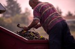 Pierre sorts the grapes and removes leaves and twigs.