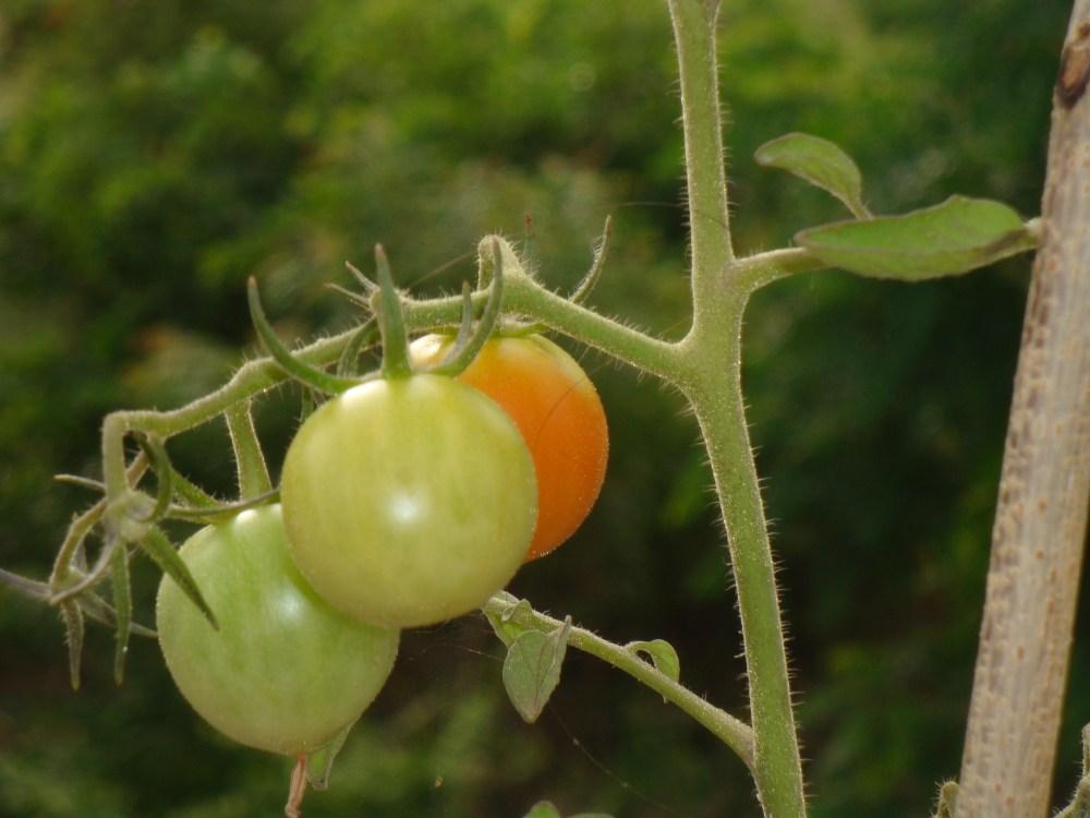 Raw Tomato Kootu ( Thakkali Kai Koottu) (2/5)