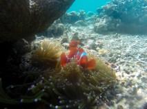 Un des nombreux poissons clowns croisé en plongeant avec masque et tuba, juste au devant de Kri Island et de ses homestays.