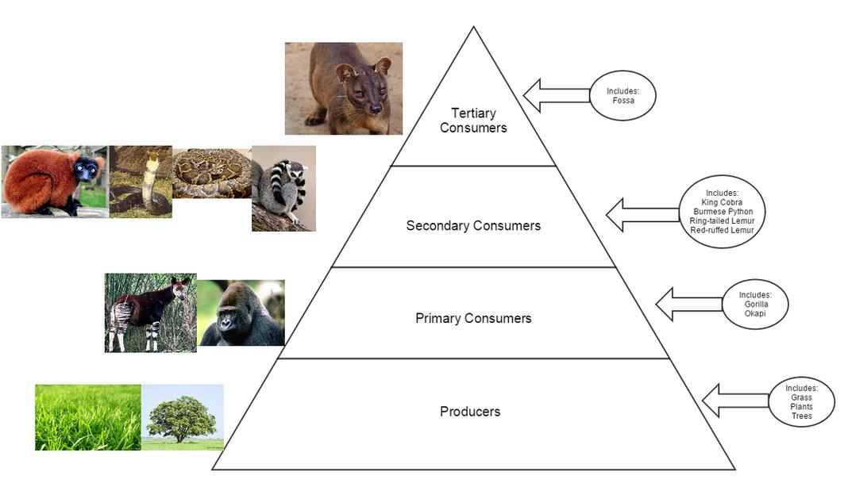 Printable King Cobra Food Chain Diagram Wiring Diagram Services