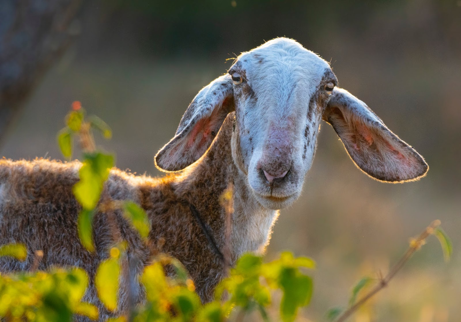 Coffee was discovered by a goat