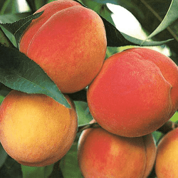 'Belle of Georgia' Peach