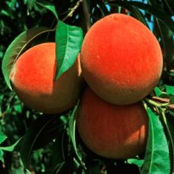 'Cresthaven' Peach