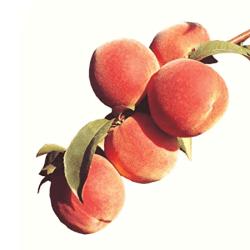 'Junegold' Peach