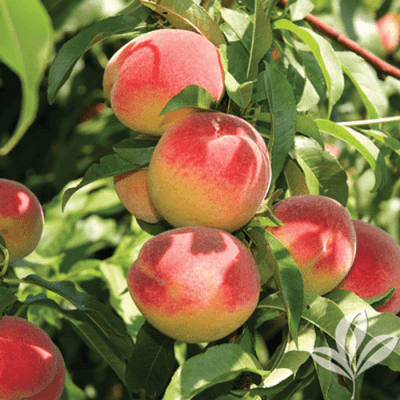 'La Feliciana' Peach