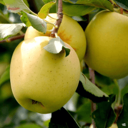 'Yellow Delicious' Apple