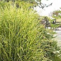 Gold Bar Maiden Hair Grass