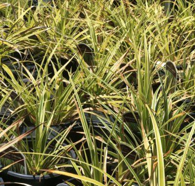 Grass Sedge 'Everglow'