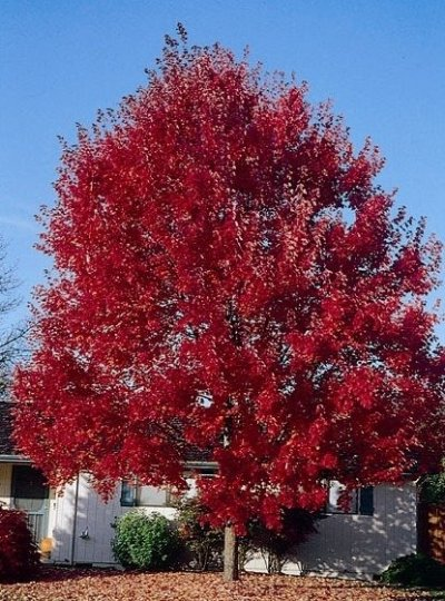 'Summer Red' Maple