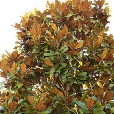Bracken's Brown Magnolia