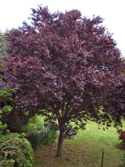 Krauter Vesuvius Plum Tree