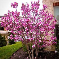 'Ann' Tulip Magnolia