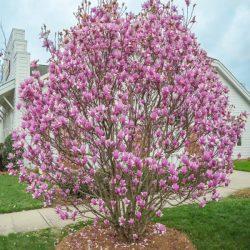 'Jane' Tulip Magnolia