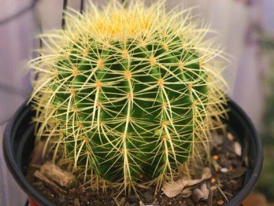 'Golden Barrel' Echinocactus