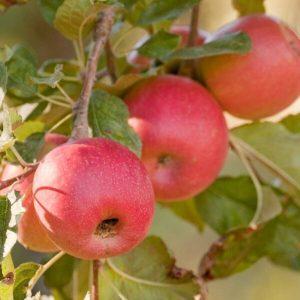 Apple 'Pink Lady'