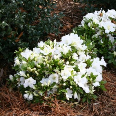 Bloom-a-thon Azalea White