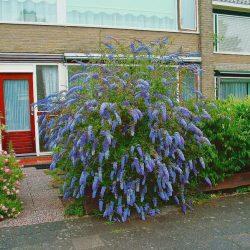 Butterfly Bush 'Nanho Blue'