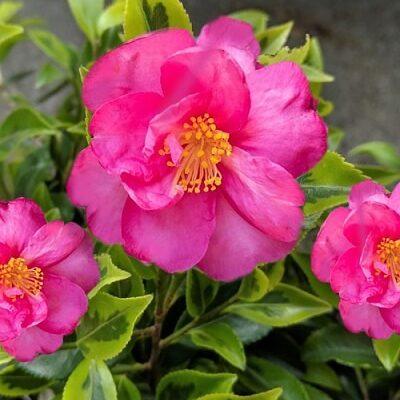 Camellia Sasanqua 'Royal Flush'