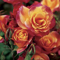 Climbing Rose 'Josephs Coat'